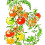 畑でもないところに、ミニトマトが生えている。わけが分からないほど絡まって。一粒もいで口に入れる。美味い。野生に戻ったトマト。お互いがんばろう