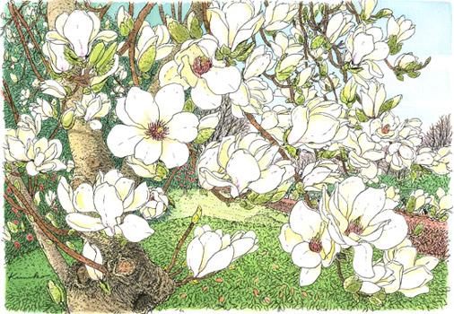 どこかに気持ちが引っかかっている。春なのに。桜を描くぞと勢い込んで出かけたら、ハクモクレンに呼び止められました。いいじゃないの春なんだもの。難しい顔しないでって